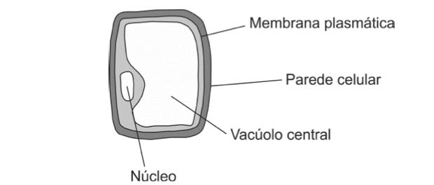 Célula vegetal (Foto: Reprodução/Fuvest)