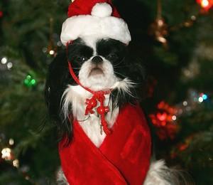 Cachorrinho a espera do Natal (Foto: Phil Cole/Getty Images)
