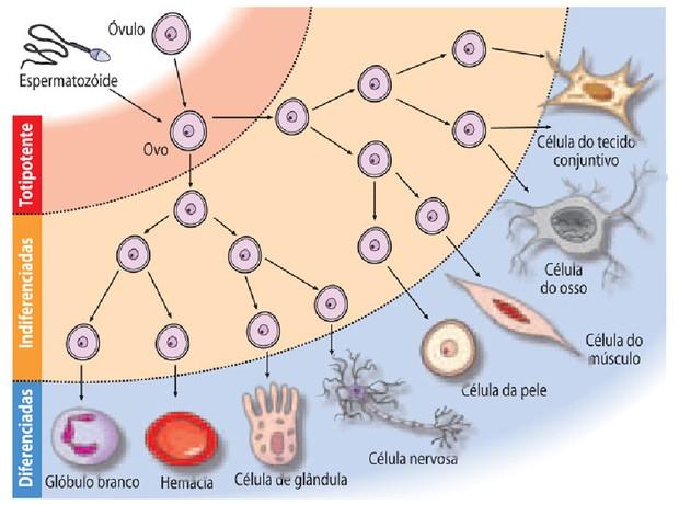Células-tronco (Foto: Reprodução)