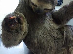 Bicho-preguiça foi levado pelo Corpo de Bombeiros ao Centro de Contole de Zoonozes de Mogi das Cruzes (Foto: Jefferson Leite/ Arquivo Pessoal)