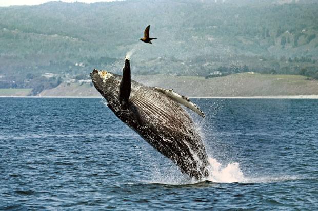 Baleia deu salto espetacular e quase atingiu pássaro na baía de Monterey (Foto: Mario Nonaka/Caters News/Grosby Group)