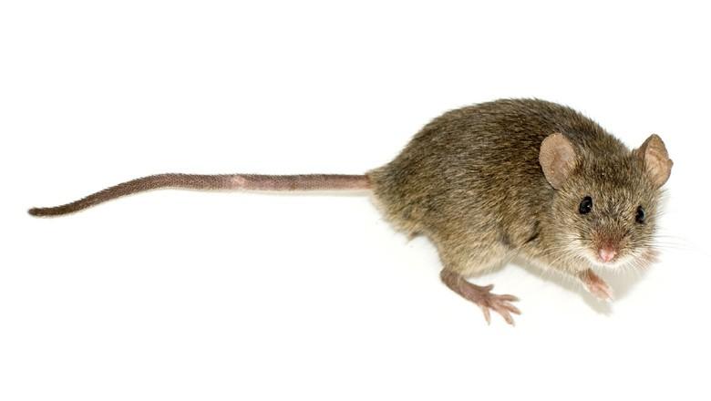 rato-laboratorio (Foto: Duncan Hull/CCommons)