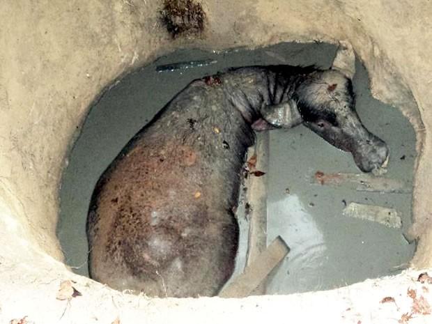 Búfalo caiu em fossa no quintal de casa em sítio (Foto: Corpo de Bombeiros/ Sinop-MT)