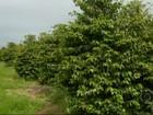 Agricultores intensificam os tratos nos cafezais por causa da chuva
