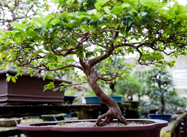 bonsai (Foto: Casa e Jardim)