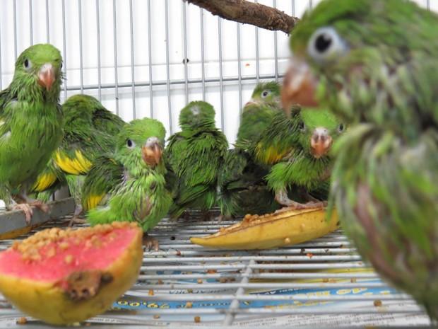 Aves traficadas e apreendidas são repatriadas para o Tocantins (Foto: Naturatins/Divulgação)