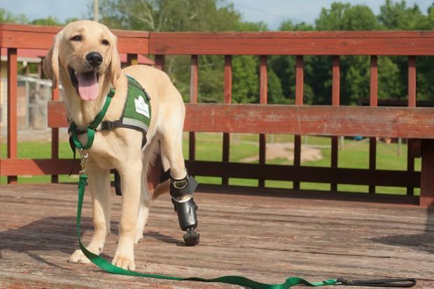 Cão Pirelli, mistura de Labrador com Golden Retriever, ensina crianças a conviver com diferenças (Foto: AP Photo/Canine Assistants, Dudley Arnold)