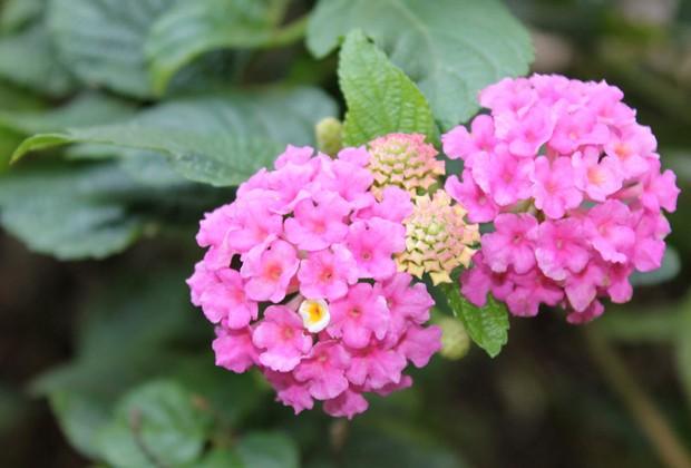As flores da cambará ( Lantana camara ), que podem ser rosas, brancas