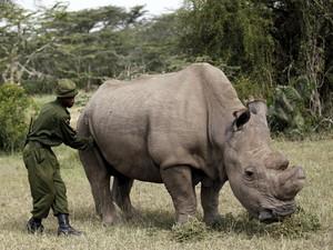 Rinoceronte recebe massagem de guarda em reserva africana (Foto: Thomas Mukoya/Reuters)