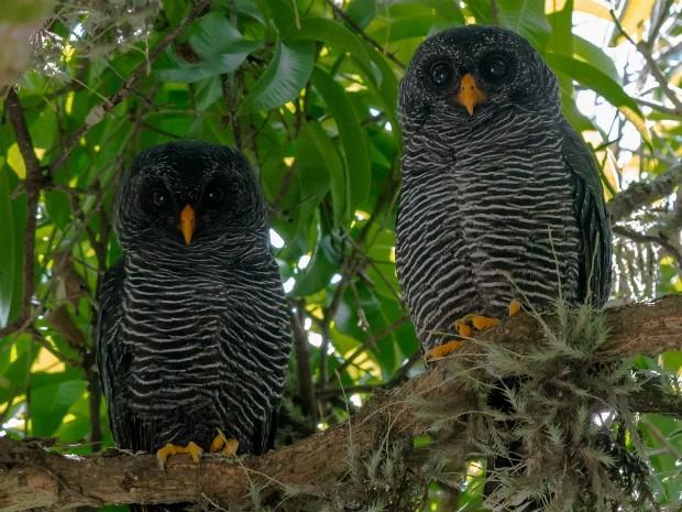 Casal de coruja-preta (Foto: Hudson Martins/Arquivo Pessoal)