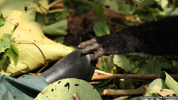 Gorilas estão no centro de disputas sobre o parque, que involvem a extração de petróleo  (Foto: Orlando von Einsiedel)