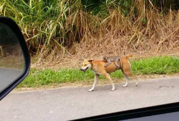 Motorista flagrou macaquinho andando abraçado em cadela (Foto: Reprodução/LiveLeak/Tyson2017)