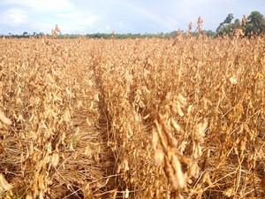 Estado que deve colher na safra deste ano, cerca de 150 mil toneladas de soja (Foto: Franciele do Vale/G1)