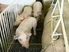 Criadores gaúchos reclamam do preço baixo pago pelos suínos
