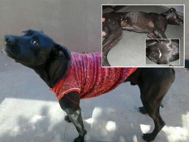 O cão Valente agora, com roupas e antes, todo machucado, quando foi encontrado (Foto: Arquivo Pessoal / Thamiris Penha)