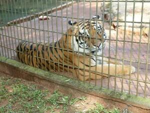 Tigre Hu voltou para a jaula nesta segunda-feira (4), depois de ficar isolado por cinco dias (Foto: Prefeitura de Cascavel/ Divulgação)