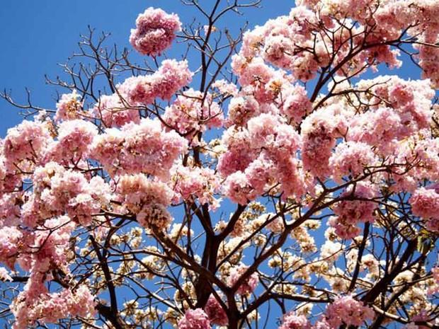 G1 - Na época de floradas as árvores deixam o ambiente