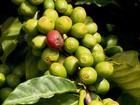 Clima contribui para a recuperação do café arábica produzido em MG