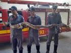 Jiboia de 2,5 metros é capturada em estrada (Zana Ferreira/ G1)