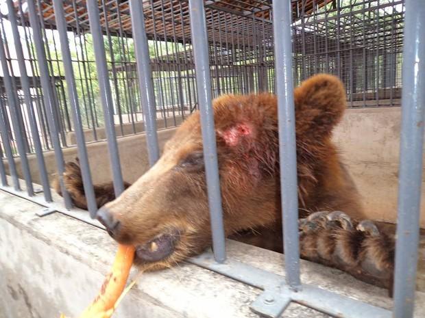 Urso ferido e sem o tratamento adequado, segundo a denuncia (Foto: Divulgação/OAB)