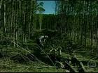 Agricultores do RS reclamam do valor pago pela madeira da acácia negra