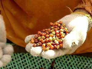 Produtores de Marilândia estão desanimados com a qualidade do café produzido (Foto: Reprodução / TV Gazeta)