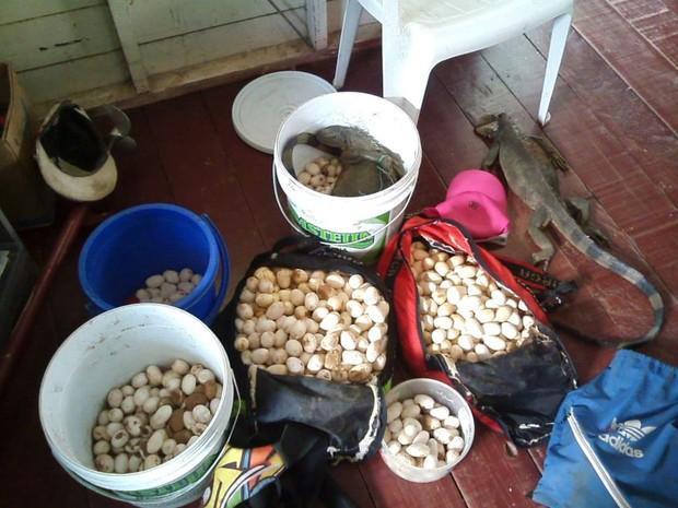 apreensão, camaleões, ovos, batalhão ambiental, Macapá, Amapá (Foto: Divulgação/ Polícia Militar)