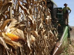 Colheita de milho neste ano será 62% maior que em 2011 (Foto: Divulgação/AENotícias)