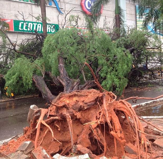 Árvore tombou em frente ao shopping Midway Mall, em Natal, causando congestionamento (Foto: Maxwell Almeida)
