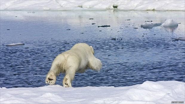 Ursos polares e focas são os habitantes primários da região do mar gelado, no Ártico. Os ursos viajam acima da calota polar e as focas, abaixo, pelo mar. O encontro, quando o urso está caçando, ocorre nos buracos no gelo. Acima, o mergulho de um jovem urso (Foto: Jenny Rose/BBC)