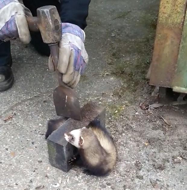 Furão precisou de ajuda para coneguir se libertar de tijolo (Foto: Reprodução/YouTube/arbman101)
