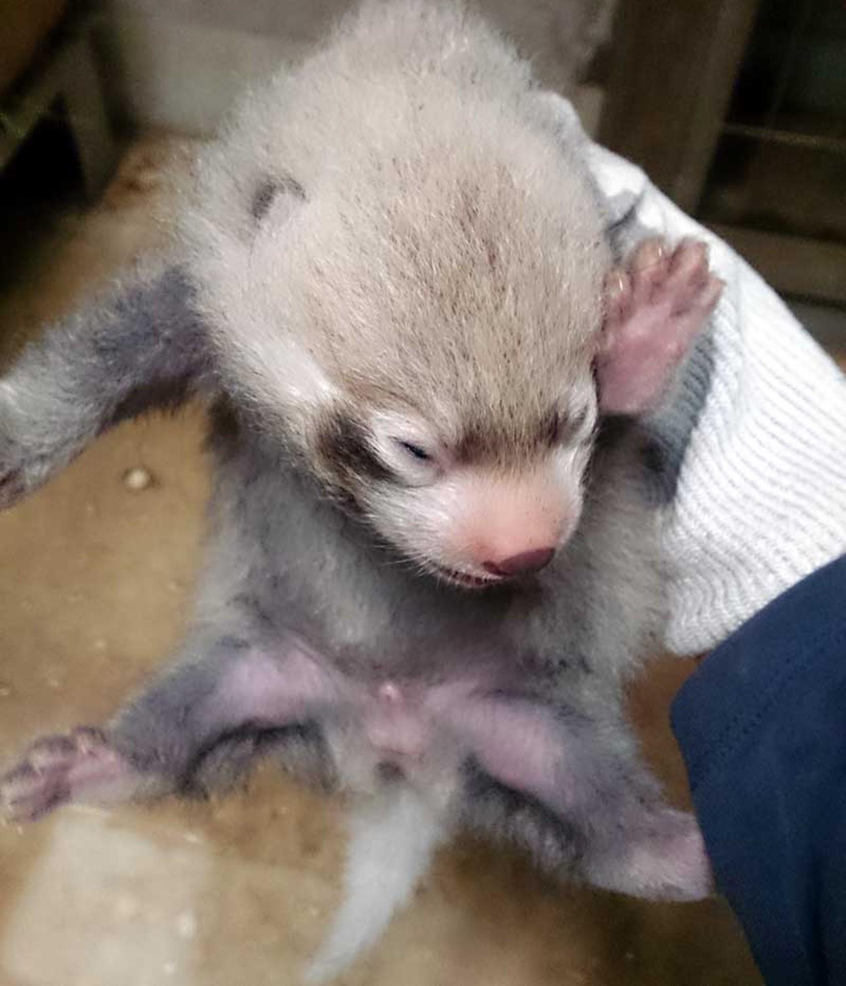 Macho de panda-vermelho é apresentado por zoológico do Japão (Foto: Reprodução/Twitter/TokyoZooNet)