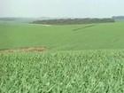 No RS, produtores vendem trigo a três meses da colheita do cereal