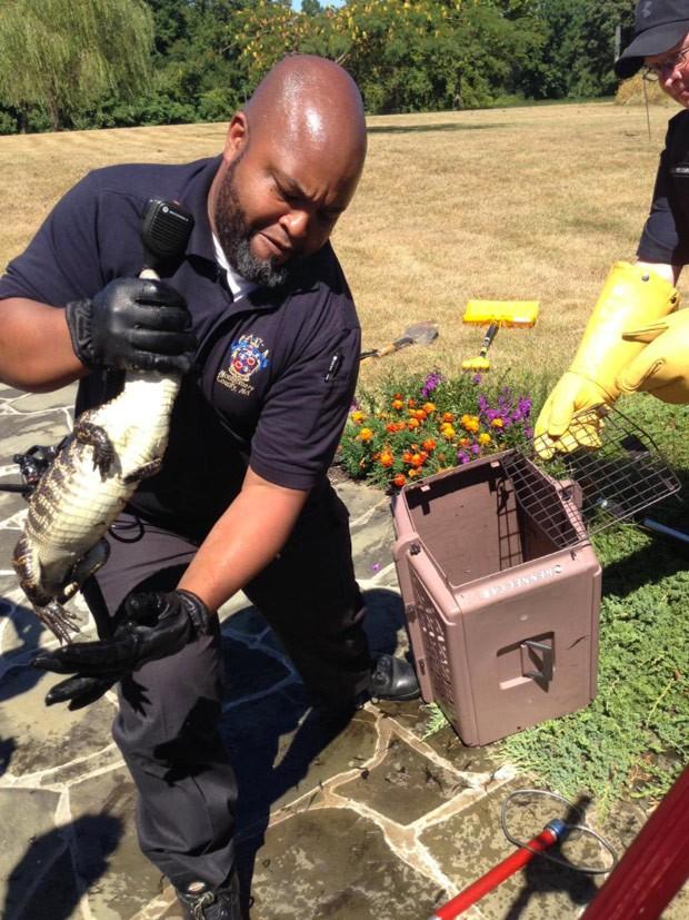 Jacaré foi capturado em pequena lagoa no condado de Montgomery (Foto: Montgomery County Police/AP)