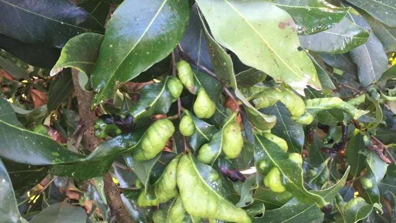 ácaro-lichia (Foto: Adriana Pereira)