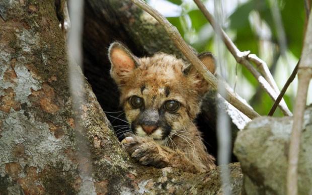 O filhote foi encontrado pelo grupo dentro de um tronco oco de árvore, perto de um rio no estado do Amazonas (Foto: Divulgação/Fernando Lara)