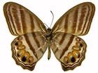 Museu anuncia nova espécie de borboleta com 'listras de zebra'