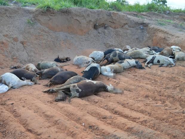 Carneiros foram jogados à beira da TO-431, em Guaraí (Foto: Guaraí Notícias/Divulgação)