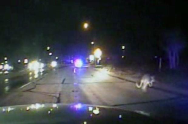 Policiais ficaram incrédulos ao encontrar canguru saltando entre carros em rodovia (Foto: Midland County Sheriff's Office/AP)