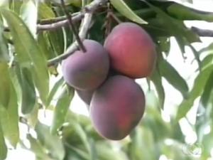 Produção de manga sofre com a praga conhecida como mosca das frutas (Foto: Reprodução/TV Anhanguera)