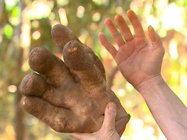 Cará em formato de mão gigante é cultivado em Colina, SP (Foto: Alexandre Sá/EPTV)