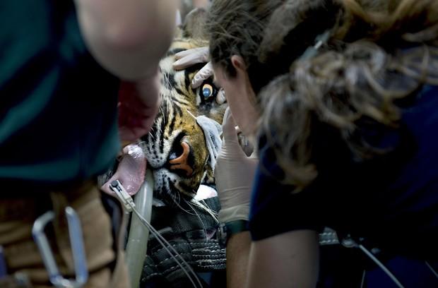 Tigre Castro vive no Zoológico de Sacramento desde 1999. (Foto: AP Photo/The Sacramento Bee, Renee C. Byer)