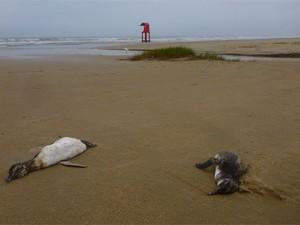 Mais de 700 pinguins foram encontrados mortos em vistoria (Foto: Ignacio Moreno/Ceclimar)