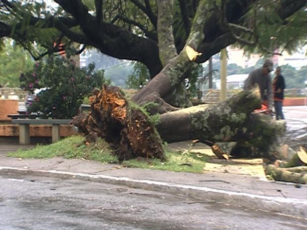 Árvore foi arrancada pela raíz em Divinópolis (Foto: Reprodução/TV Integração)