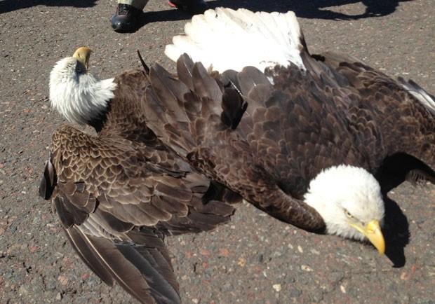 Duas águias ficaram presas e fizeram um pouso forçado no último domingo, nos EUA. Elas travavam uma batalha nas alturas, mas suas garras ficaram presas e, por isso, não conseguiram mais voar (Foto: Departamento de Recursos Naturais de Minessota/AP)