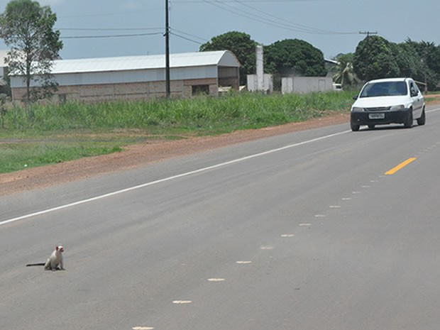Macaco na BR-163 em Santarém (Foto: Zé Rodrigues/TV Tapajós)