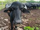 Pequenos criadores de gado do Marajó recebem vacina contra aftosa