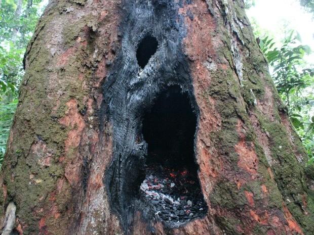 Parte interna do tronco da árvore centenária ainda estava em chamas na tarde deste sábado (Foto: Adneison Severiano/G1 AM)
