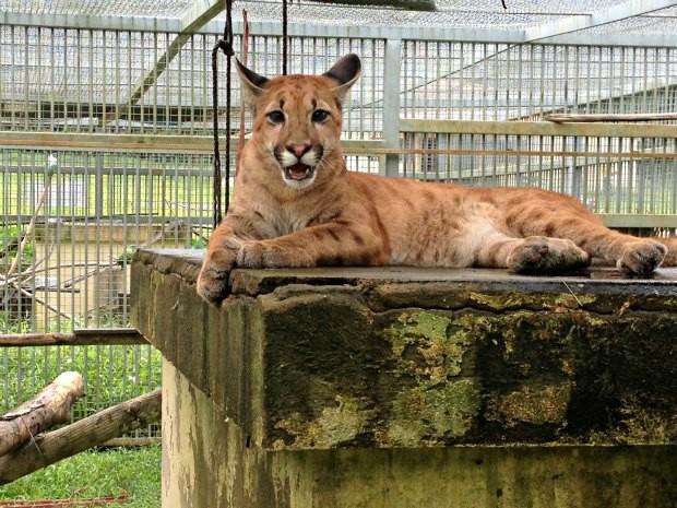 Dodge, filhote de onça parda, aguarda para ser doada à Zoológicos que tenham interesse (Foto: Ivanete Damasceno / G1)