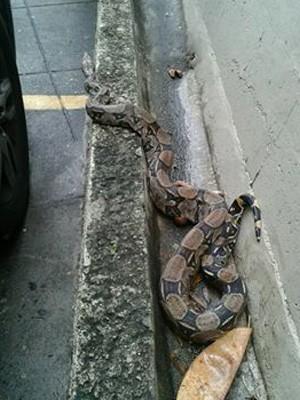 Jiboia foi encontrada em estacionamento de prédio no Jardim Botânico (Foto: Paulo Maia/Divulgação)